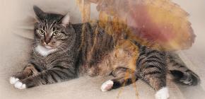 고양이가 벼룩을 가지고 있다면 어떻게해야합니까?