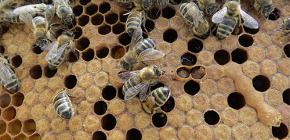 꿀벌 나방 팅크를 질병 치료에 사용