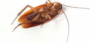 집에서 바퀴벌레 침략 제거하기