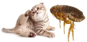 고양이 벼룩 : 그들은 어떻게 보이고 사람에게 위험한가요?