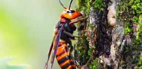 거대한 일본 말벌의 삶과 그 물린 위험에 흥미로운 특징