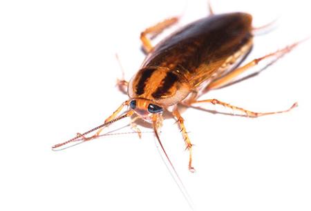 바퀴벌레에 효과적인 치료법 Global (Globol)