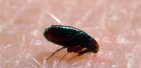 가정과 아파트에서 벼룩이 나오는 곳 : 기생충 출현의 주된 이유