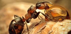 개미의 다양한 종의 사진과 그들의 삶의 흥미로운 특징