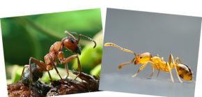 붉은 숲과 국내 개미에 관해서뿐만 아니라 그들의 차이