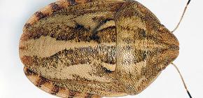 벌레 해로운 거북 (Eurygaster integriceps)