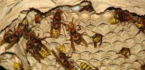 Hornets의 둥지 (사진) : 기기에 대해 정확하고 안전하게 제거하는 방법