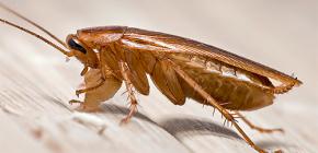 어떻게 바퀴벌레가 아파트에 나타 납니까?