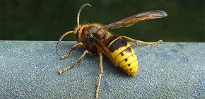 말벌과 말벌에게 가장 효과적인 검토