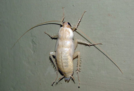 아파트의 흰 바퀴벌레 - 어떤 종류의 알비온 이죠?