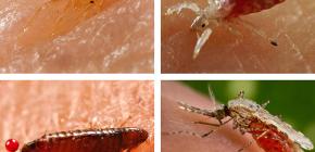 어떤 종류의 피를 빠는 곤충이 침대 또는 소파에서 발견 될 수 있습니까?