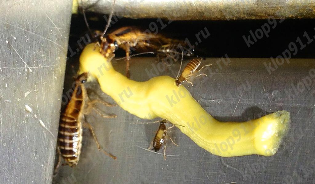 바퀴벌레는 젤을 먹는다.