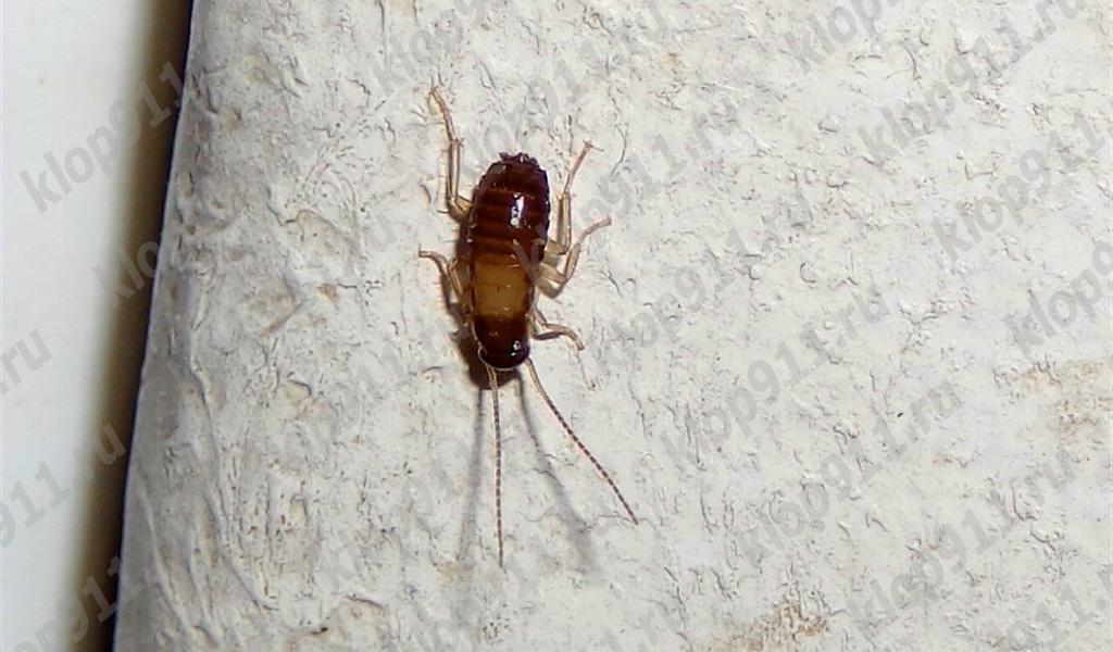 바퀴벌레 애벌레는 날개가 없다.