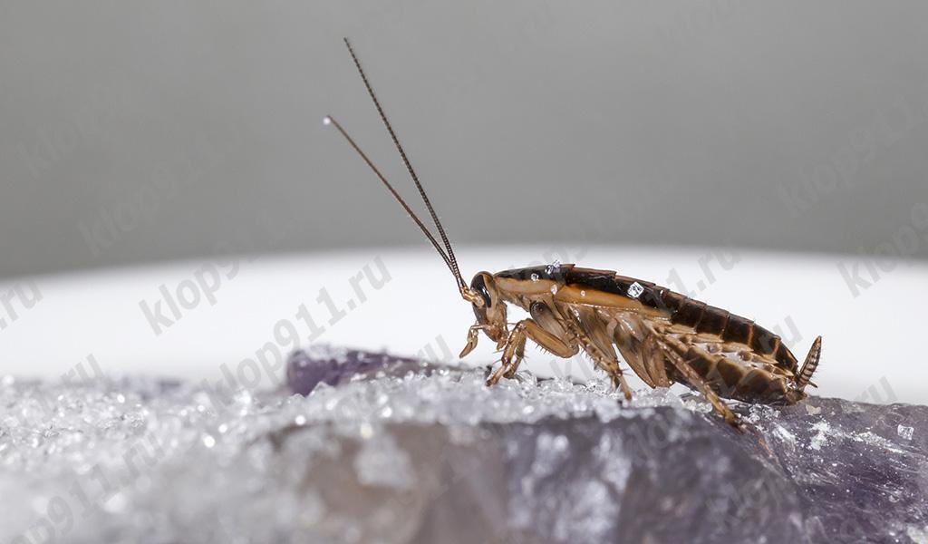 잡식성 바퀴벌레