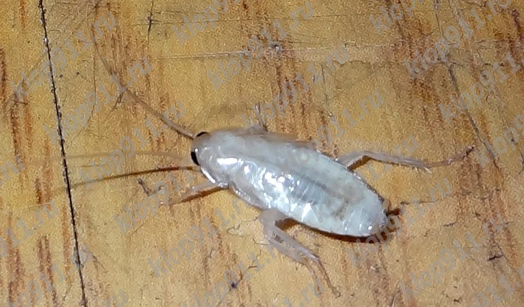 알비노 바퀴벌레