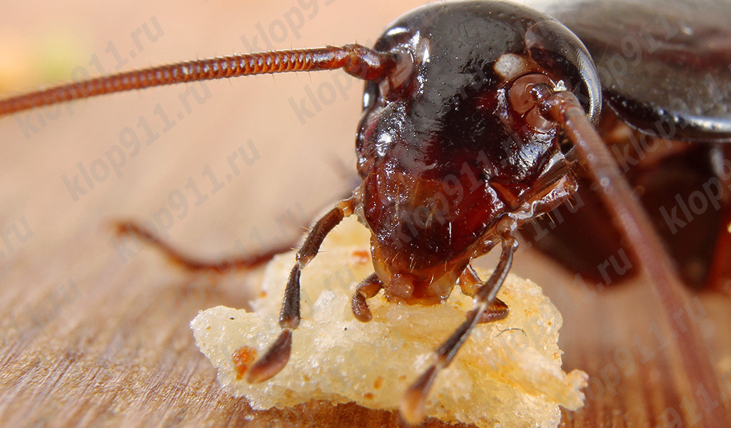 바퀴벌레는 빵 (매크로 사진)을 먹는다.